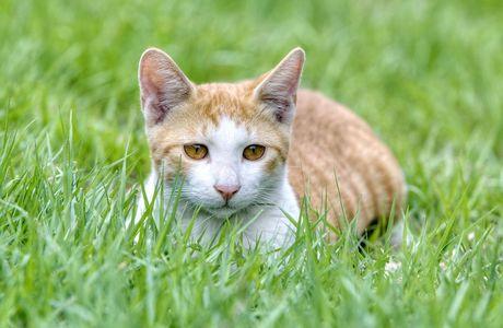 L'herbe à chat