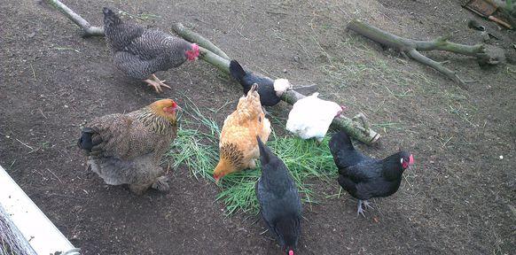 elever des poules - L\'Oasis de Vignamont