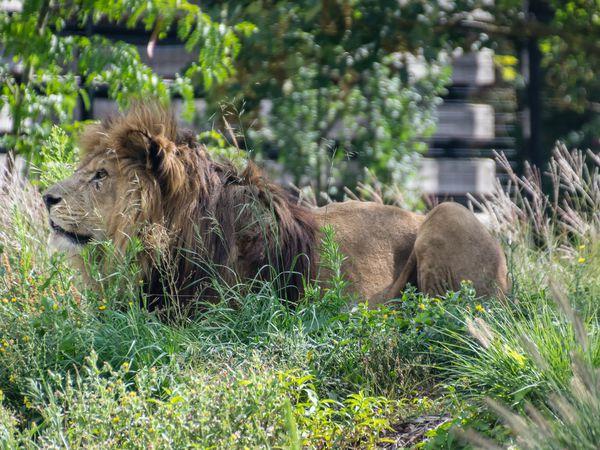 Les lions ! :)