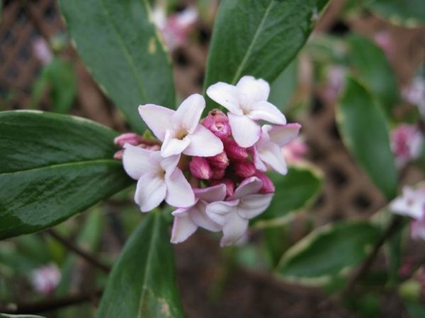 Daphné odora Aureomarginata