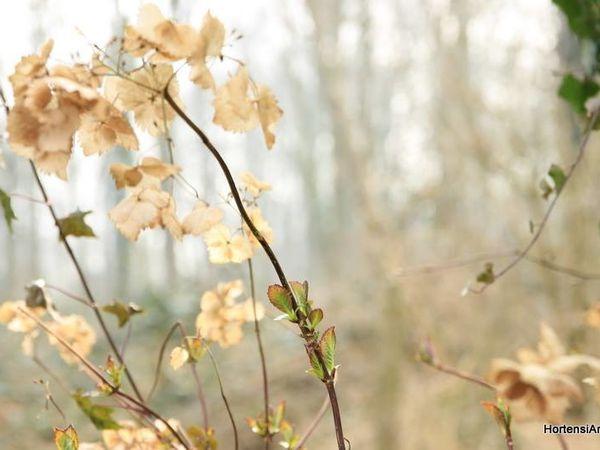 serrata 'Belzonii'   /   macrophylla 'Miyake Tokiwa'   /  serrata 'Colibri'   / serratophylla 'Ezo Hoshino'  /  serrata 'Odoriko Amacha' .