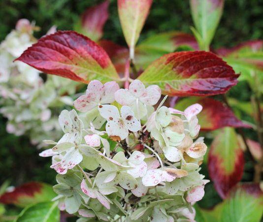 H. 'Rosewarne Pink, une bouture prise chez Mrs Bullivant (Angleterre) synonyme: H. 'Mariesii' 1879