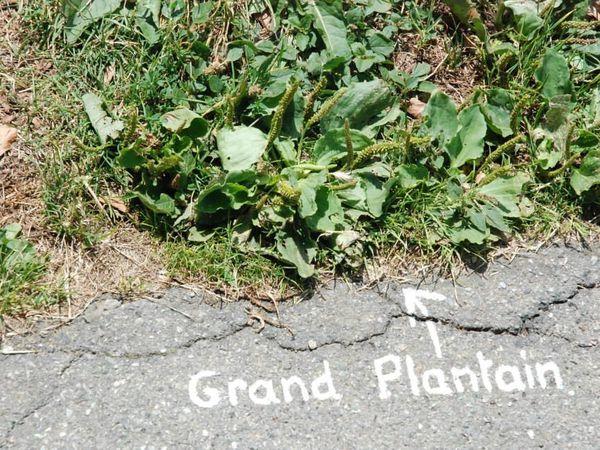 Les belles et utiles Plantes des Bitumes