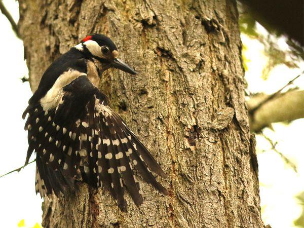 le jeune  possède une calotte rouge, le mâle est pourvu d'une bande de plumes rouges sur la nuque, absente chez la femelle.