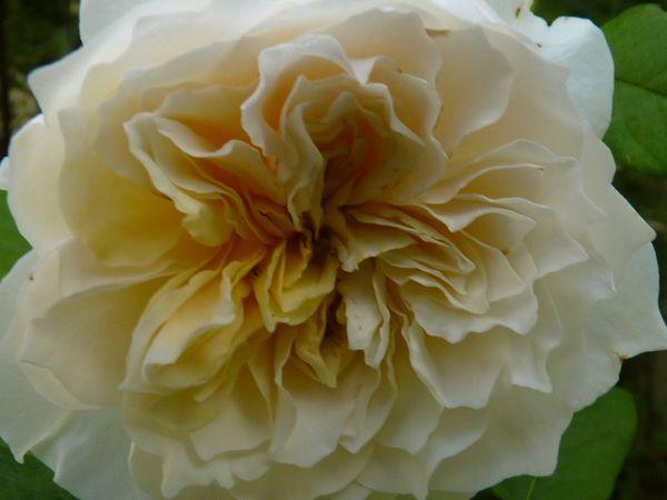 Belle remontée de roses
