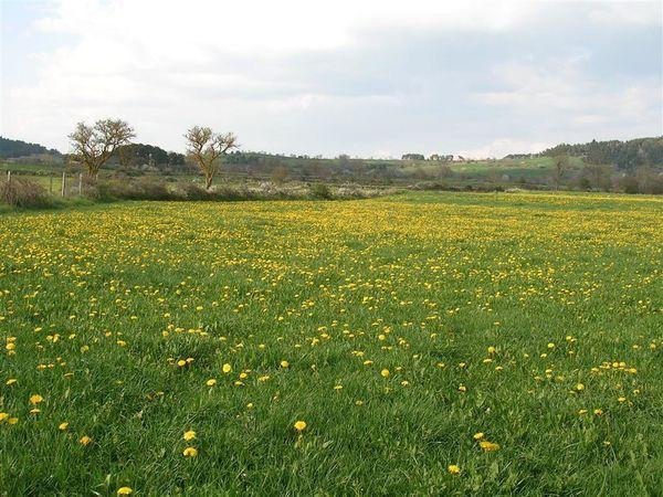 Les champs de pissenlit au mois de mai en Haute Loire