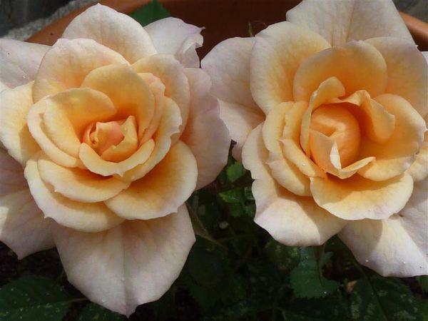 Roses de juin au jardin...