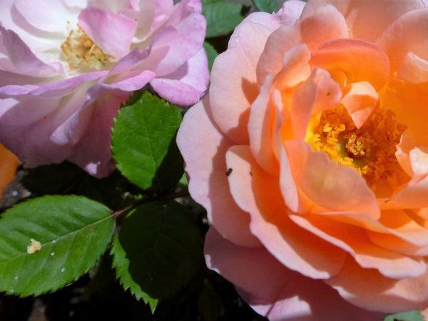 Et mon mini-rosier que j'ai en pot et que je vous ai déjà montré...