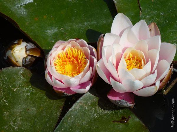 Les nénuphars en fleurs