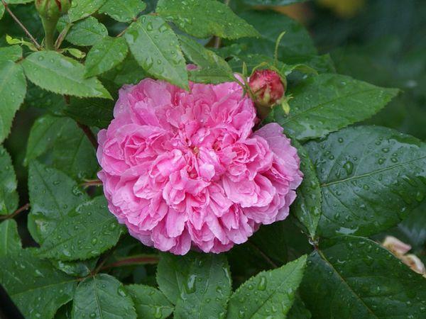 Une rose, un jour : Jacques Cartier