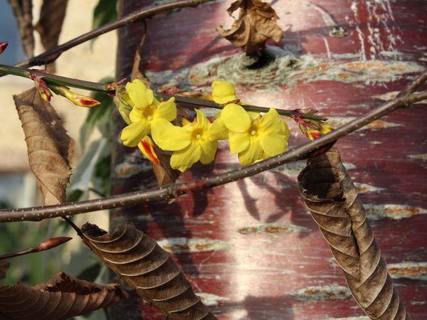 Le portillon a été surélevé cause chien fugueur, on a mis de la couleur , un peu claquant mais au moins nos hôtes trouveront le bon portail sans aller chez les voisins. Ici le jasmin est en fleur jaune  un bea mariage sur un merisier tout ce qu'il y a de plus ordinaire mais en pleine santé.