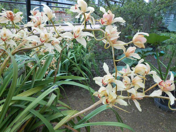 De très belles orchidées