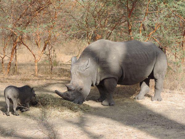 rhinocéroce, féroce dit-on, il avait l'air placide, mais nous sommes restés bien sagement dans la voiture !