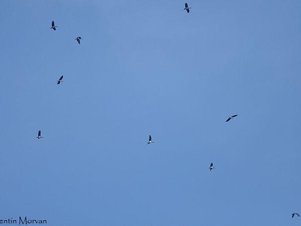 Migration à Tarifa : Bondrée apivore, Cigogne noire et Guêpier d'Europe