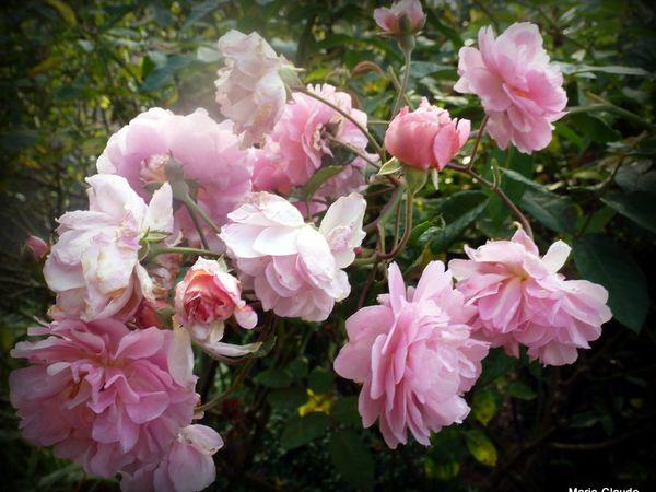 Roses de Picardie ou d'ailleurs !!!