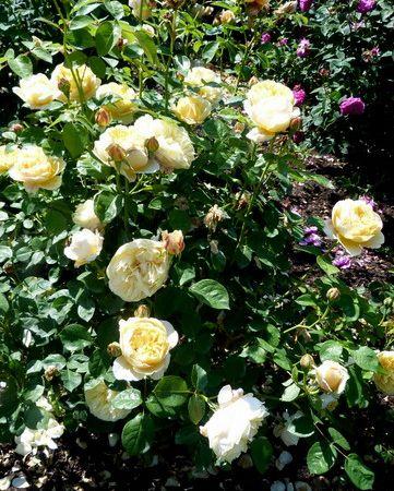 Rosier Charlotte, une belle couleur 'beurre frais',