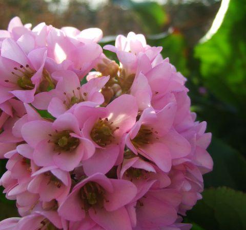 fleurs de bergénia .
