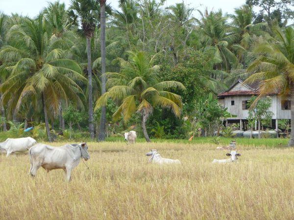 L'Asie, les buffles et les vaches : on adore !