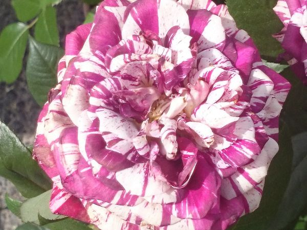 CLICK ON THE PICTURES TO SEE THEM FULLY - pink varieties of roses