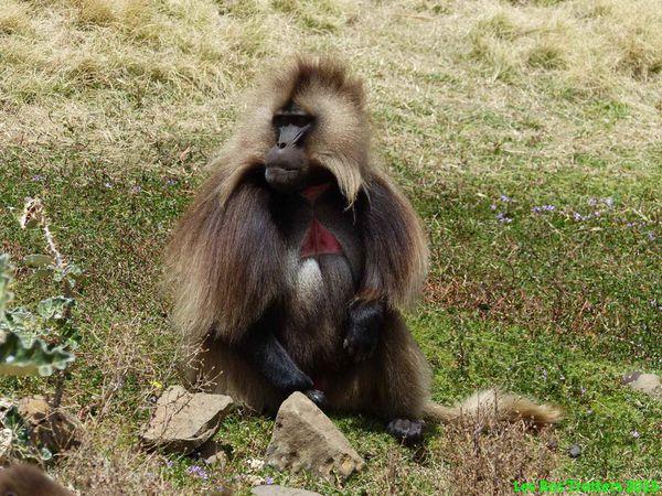 Les Babouins Gelada ou à coeur de sang
