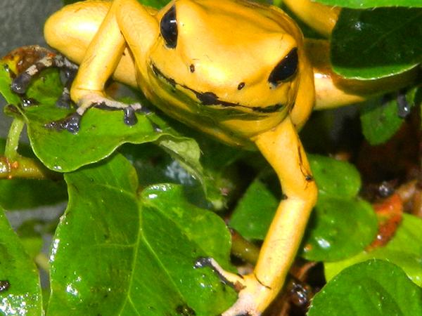 La grenouille Kokoï de Colombie, Phyllobates terribilis venimeuse et dangereuse, en voie de disparition