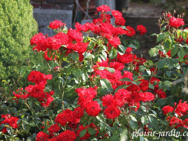 b9. Les rosiers en L. de Lam à Laz.