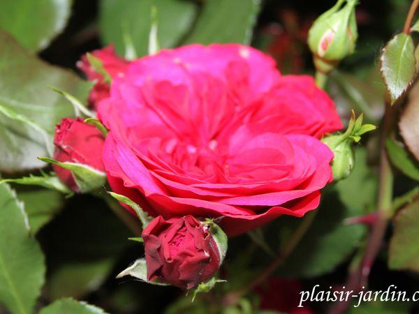 b9. Les rosiers en Mo.