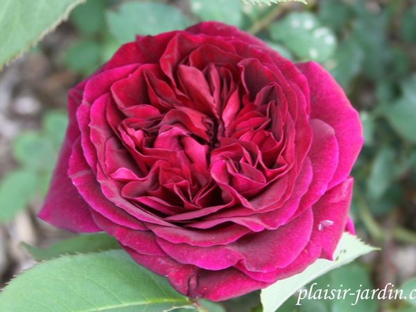 b9. Les rosiers en Mu. et My.