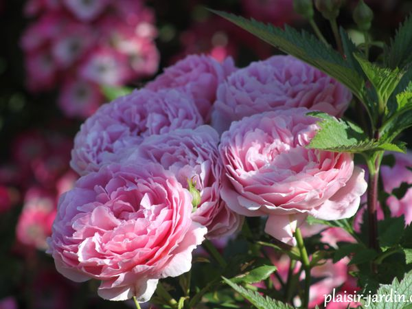 b9. Les rosiers en P. de Po à Pz.