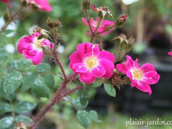 Le rosier 'Goethe'