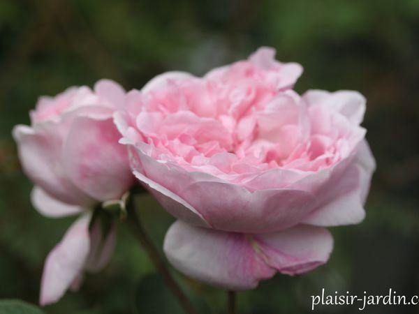 b9. Les rosiers en F. de Fa à Fj.