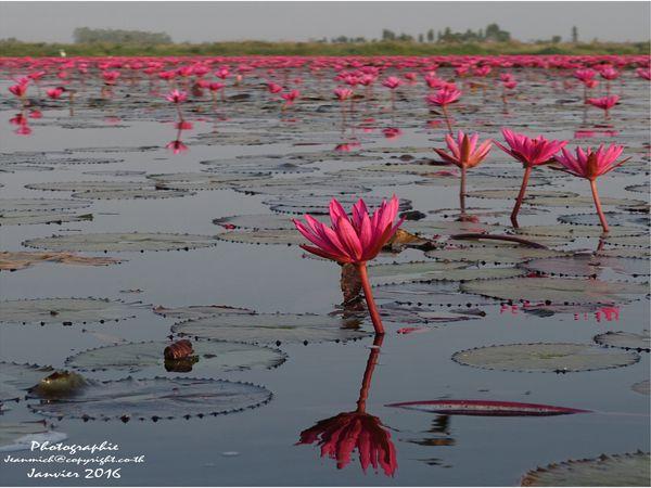 Au milieu des fleurs de lotus(Nong Han Kumphawapi Lake) หนองหานกุมภวาปี