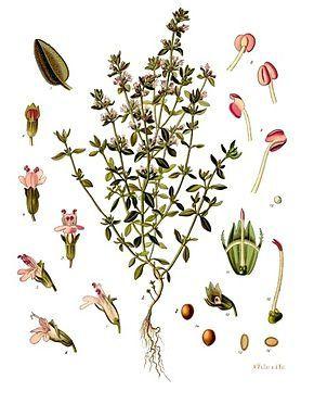 Thymus vulgaris Lamiaceae