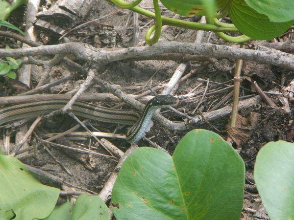La faune : les zébus, une variété de couleuvre.