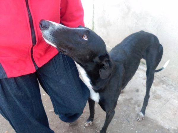 Boyer gentil galgo noir d'Espagne à adopter sous contrat associatif sos chiens galgos