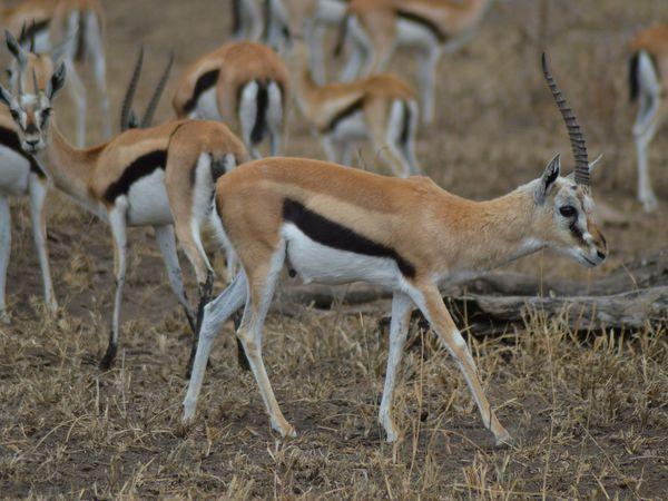 gazelles de Thomson et de Grant