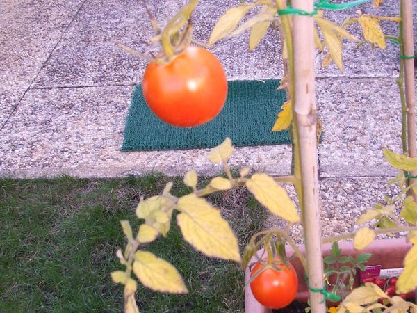 La saga de mes tomates bio 2015