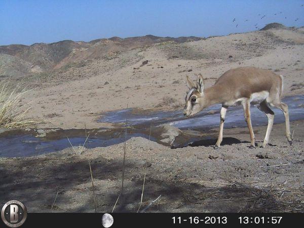 ...ainsi que les étonnants mammifères du désert de Gobi... (piège-photo : jeune antilope à goitre, bouquetin de Sibérie, chameaux sauvages)