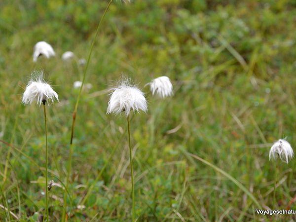 2 fleurs non identifiées en haut et linaigrettes en bas