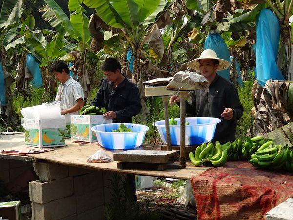 préparation des bananes à l'expédition