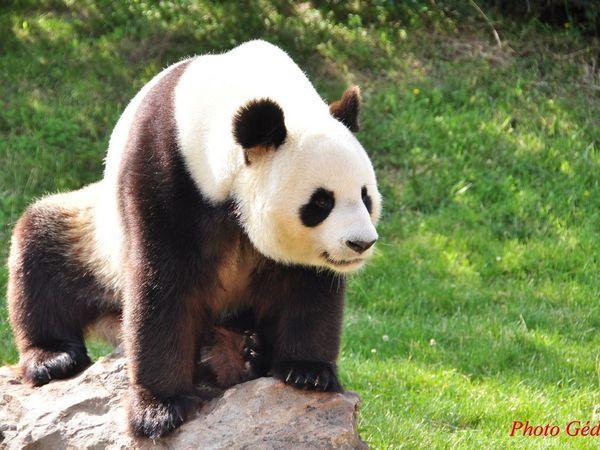Le Panda fait son spectacle.