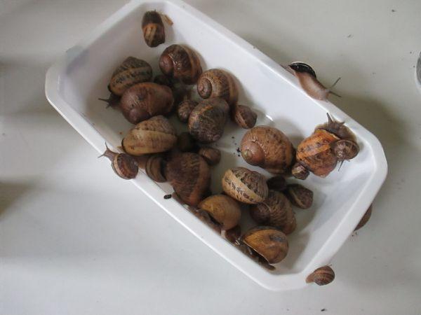 Des nouvelles de nos escargots