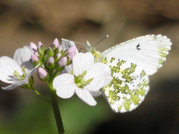 Aurore mâle se régalant sur Cardamine des prés et jeunes feuilles de Charme