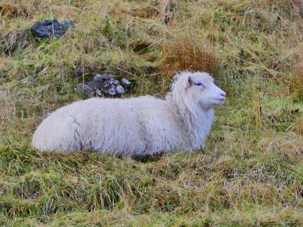 Sur Eysturoy, couvert de tartan ou à nu, la laine reste la grande gagnante de cette saison.