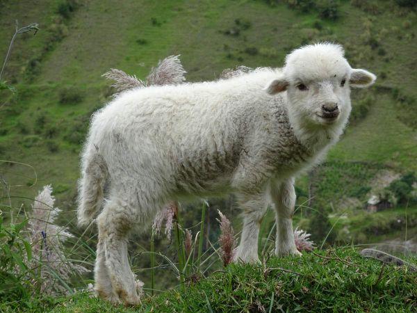 Quelques moutons prennent la pose en bord de chemin avant d'arriver aux 2 derniers kilomètres sur la route
