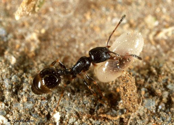 Temnothorax niger