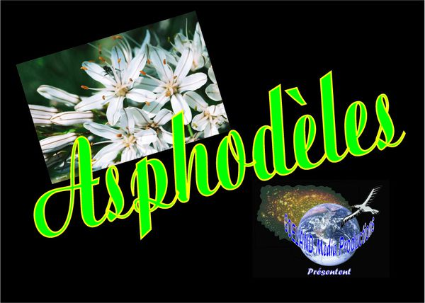 ASPHODELES - Etoiles des terrains secs