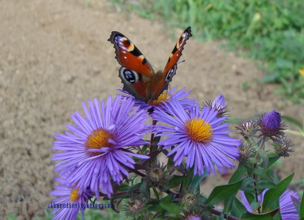 ASTERS et PAPILLONS.