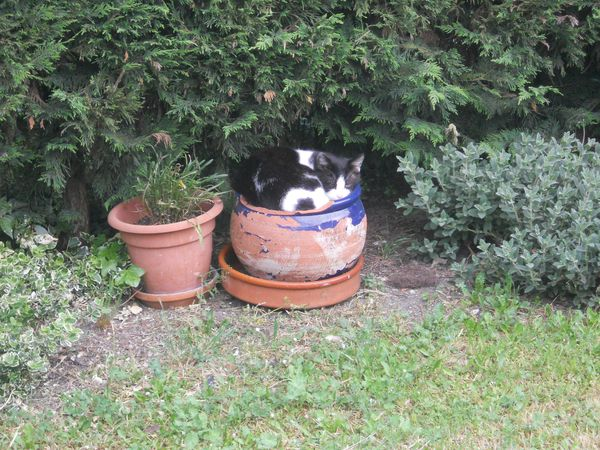 un chat dans un pot de fleurs
