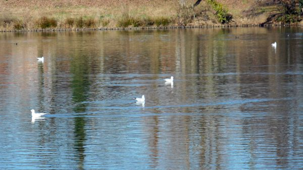 mouettes lac Versein Villenave d'ornon